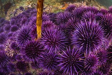 Purple Sea Urchin (Strongylocentrotus purpuratus) group feeding on last kelp in barren, Mendocino, California