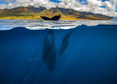 Humpback Whale (Megaptera novaeangliae) mother sailing, with calf, Maui, Hawaii
