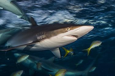 Silky Shark (Carcharhinus falciformis) group, Jardines de la Reina National Park, Cuba