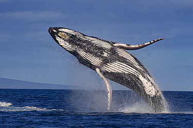 Humpback Whale (Megaptera novaeangliae) breaching, Maui, Hawaii, sequence 2 of 4