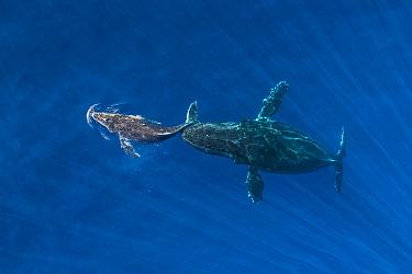 Humpback Whale (Megaptera novaeangliae) mother pushing sleeping calf to surface, Maui, Hawaii