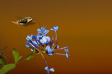 Hummingbird Hawk-moth (Macroglossum stellatarum) feeding on flower nectar, San Diego, California