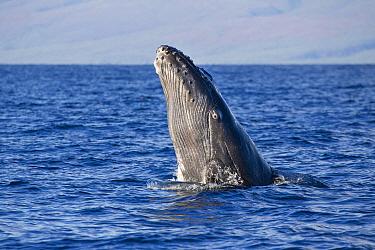 Humpback Whale (Megaptera novaeangliae) breaching, Maui, Hawaii