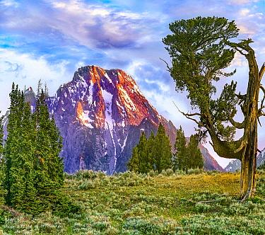 Limber Pine (Pinus flexilis) shaped by the wind, Patriarch Tree, Mount Moran, Grand Teton National Park, Wyoming