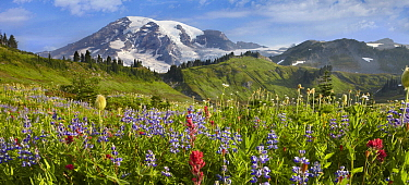 Wildflowers in meadow, Mount Rainier National Park, Washington