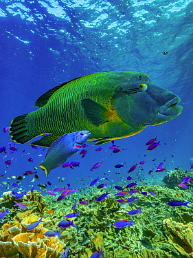 Parrotfish (Scarus sp) and Wrasse (Labridae), Apo Island, Philippines