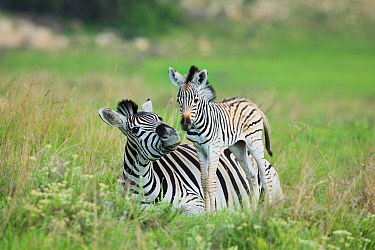 Burchell's Zebra (Equus burchellii) mother and foal, Itala Game Reserve, South Africa