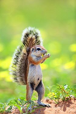 Cape Ground Squirrel (Xerus inauris) feeding, South Africa
