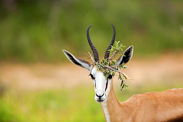 Springbok (Antidorcas marsupialis) male with vegetation on horns during rut, South Africa