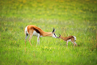 Springbok (Antidorcas marsupialis) mother nuzzling calf, Rietvlei Nature Reserve, South Africa