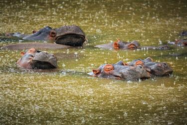 Hippopotamus (Hippopotamus amphibius) group during rainfall, Kruger National Park, South Africa