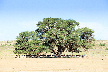 Springbok (Antidorcas marsupialis) herd in shade of tree, South Africa