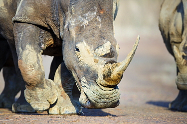 White Rhinoceros (Ceratotherium simum) pair, Itala Game Reserve, South Africa