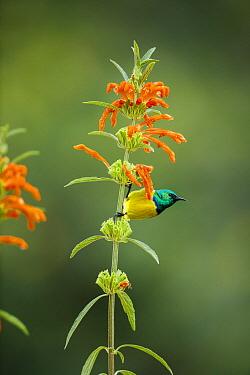 Collared Sunbird (Anthreptes collaris), Garden Route National Park, South Africa