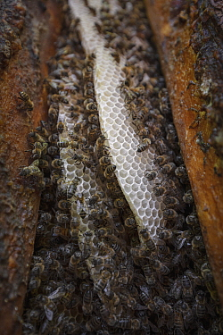Honey Bee (Apis mellifera) hive in pine tree cut by beekeepers to provide space for the hive, Poland
