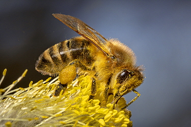 Honey Bee (Apis mellifera) collecting Goat Willow (Salix caprea) pollen in spring, Germany