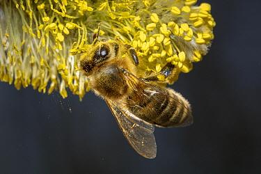 Honey Bee (Apis mellifera) collecting Goat Willow (Salix caprea) pollen in spring, Germany