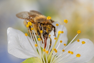 Honey Bee (Apis mellifera) feeding on Sweet Cherry (Prunus avium) flower nectar, Germany