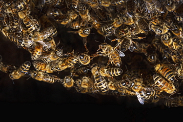 Honey Bee (Apis mellifera) group forming chains and ball during colonization of tree cavity, Germany