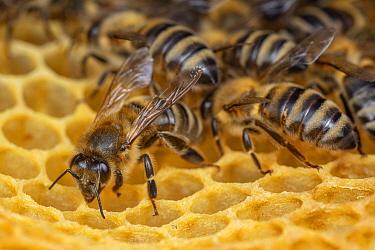 Macedonian Bee (Apis mellifera macedonica) workers on honeycomb, native to Balkans and Greece