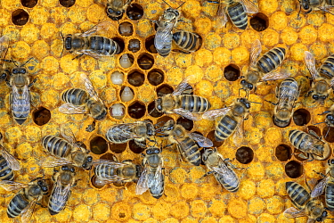 Honey Bee (Apis mellifera) workers on brood comb, Germany