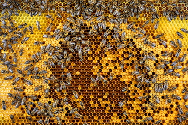 Honey Bee (Apis mellifera) workers on comb with brood cells and cells filled with pollen and honey, Germany