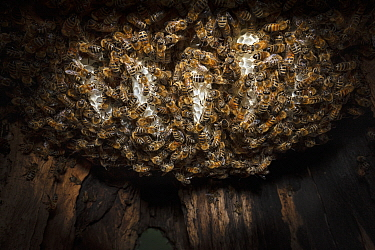 Honey Bee (Apis mellifera) first honeycombs of hive during colonization of tree cavity, Germany