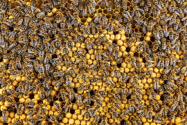 Honey Bee (Apis mellifera) workers at brood cells with drone brood, Germany