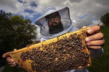 Honey Bee (Apis mellifera) beekeeper, Marius Jordan, checking hive, Germany