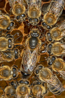 Honey Bee (Apis mellifera) queen surrounded by her court, laying eggs on the broodcomb, Germany