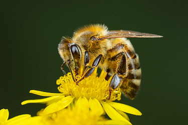 Honey Bee (Apis mellifera) feeding on Stinking Willie (Senecio jacobaea), Germany