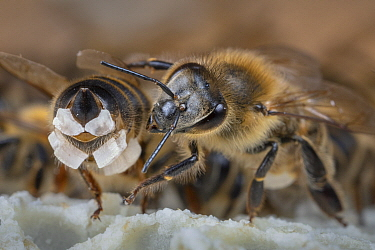 Honey Bee (Apis mellifera) worker collecting wax scales produced by another worker to build comb, Germany