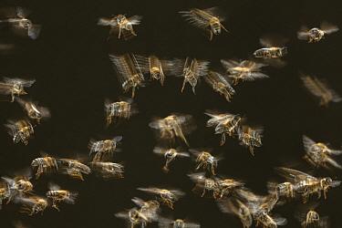 Honey Bee (Apis mellifera) swarm flying, Germany