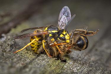Honey Bee (Apis mellifera) being killed by German Wasp (Vespula germanica), Germany