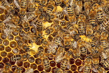 Honey Bee (Apis mellifera) workers building brood cells for queens, Germany