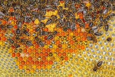 Honey Bee (Apis mellifera) workers on honeycomb filled with pollen, Germany