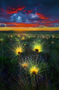 Pipewort (Paepalanthus sp) flowers at sunset, Brazil