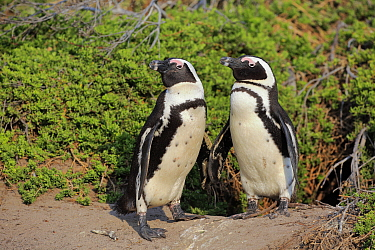 Black-footed Penguin (Spheniscus demersus) pair, Betty's Bay, Stony Point Nature Reserve, South Africa