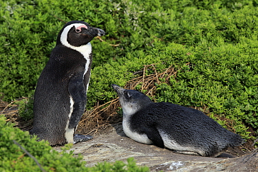 Black-footed Penguin (Spheniscus demersus) parent with chick, Betty's Bay, Stony Point Nature Reserve, South Africa