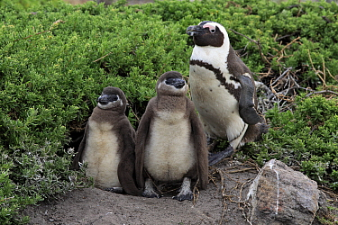 Black-footed Penguin (Spheniscus demersus) parent with chicks, Betty's Bay, Stony Point Nature Reserve, South Africa
