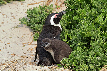 Black-footed Penguin (Spheniscus demersus) parent with chick, Boulders Beach, Simon's Town, South Africa