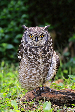 Spotted Eagle-Owl (Bubo africanus), Cape Town, South Africa