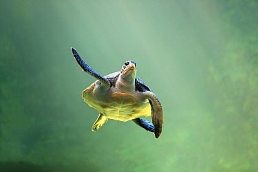 Green Sea Turtle (Chelonia mydas), Cape Town, South Africa