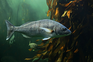 Black Seabream (Spondyliosoma cantharus), Cape Town, South Africa