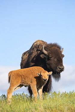 American Bison (Bison bison) mother and calf, National Bison Range, Moise, Montana