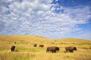 American Bison (Bison bison) herd in grassland, National Bison Range, Moise, Montana