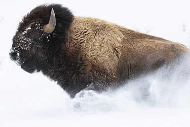 American Bison (Bison bison) running in snow, Yellowstone National Park, Wyoming