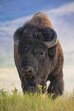 American Bison (Bison bison), National Bison Range, Moise, Montana