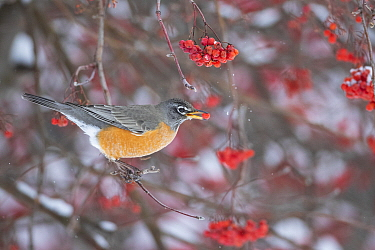 American Robin (Turdus migratorius) feeding on berries in winter, Montana
