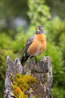 American Robin (Turdus migratorius), Montana